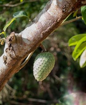 Annona cacans (araticum, annona) ongekruid hangend aan de boom. fruit uit centraal brazilië.