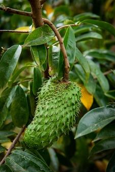 Annona muricata l zomerse kruiden die kanker kunnen behandelen.