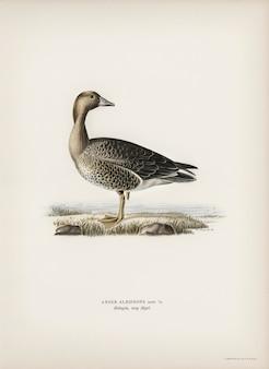 Anser albifrons geïllustreerd door de gebroeders von wright.