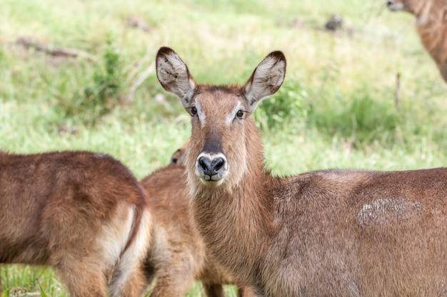 Antilope op een achtergrond van gras