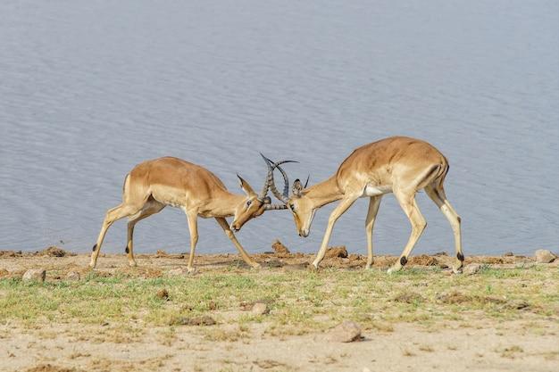 Antilopen die overdag vechten op de oever van het meer