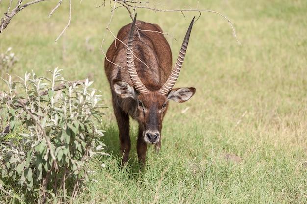 Antilopen op een achtergrond van groen gras