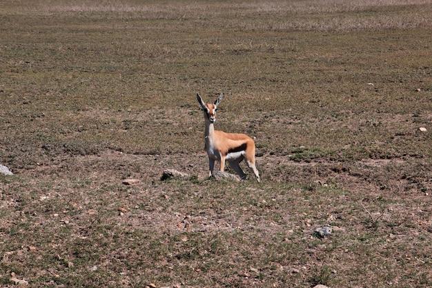 Antilopen op safari in kenia en tanzania, afrika