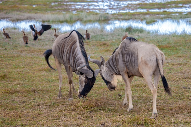 Antilopen vechten, gnu, op safari in kenia