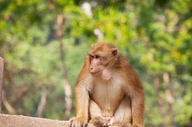 Apen in de indonesische tempel