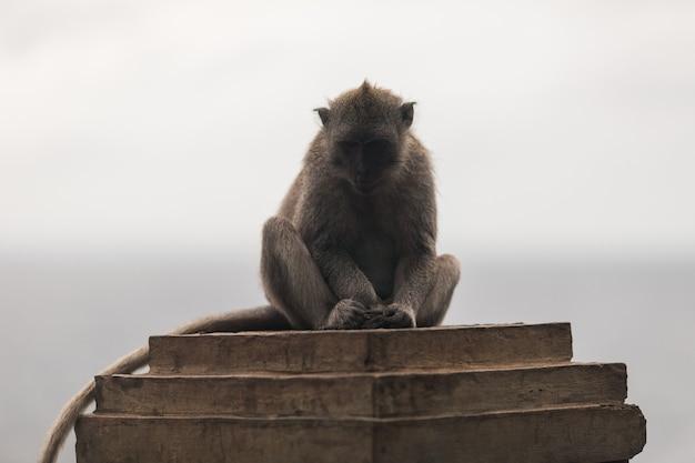 Apen in de tempel van uluwatu op het eiland bali, indonesië