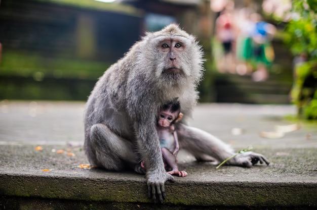 Apen in het apenbos, bali
