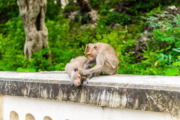 Apen (krabbenetende makaak, macaca fascicularis) die elkaar verzorgen. natuurlijk in toeristische attractie