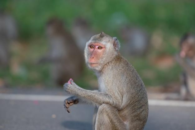 Apen wachten op eten van mensen op straat.