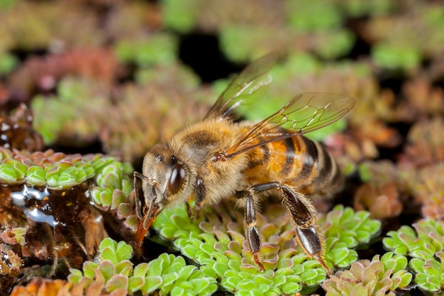Apis mellifera western honingbij europees