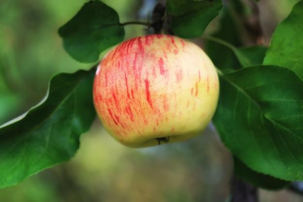 Appel in de tuin zomer herfst