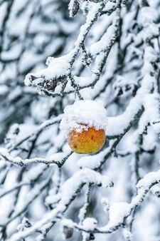 Appel op een tak bedekt met sneeuw