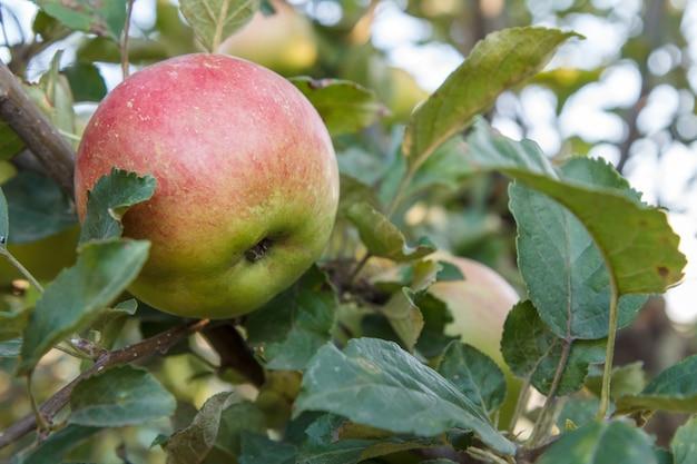 Appel op een tak van de boom in de tuin in de zomerdag met natuurlijke onscherpe achtergrond