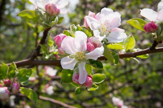 Appelbloesem close-up lente