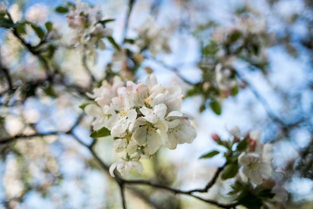 Appelbloesem in de lente