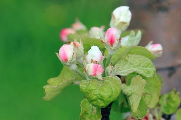 Appelbloesems in de tuin