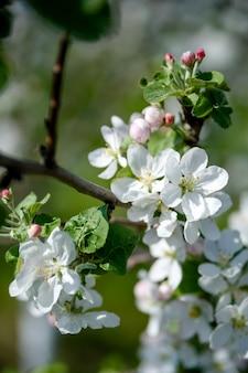 Appelbomen bloemen lente zomer close-up