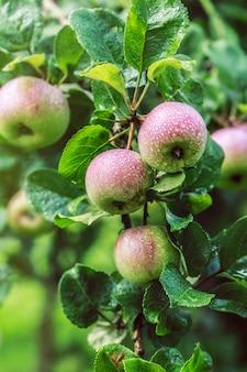 Appelboom. appels aan de boom