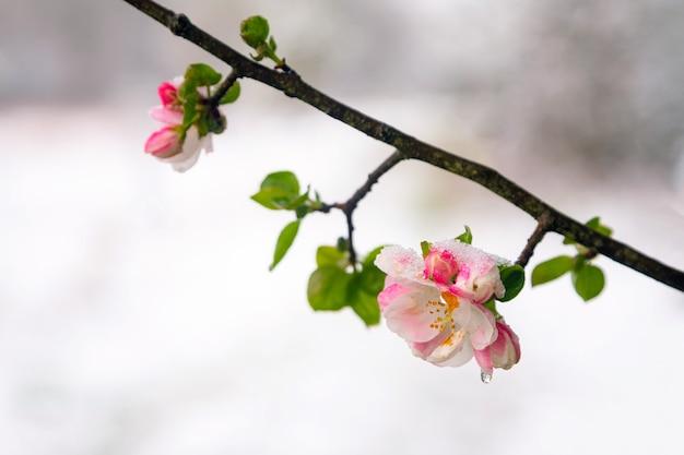 Appelboom bloeit bedekt met sneeuw tijdens onverwachte sneeuwval