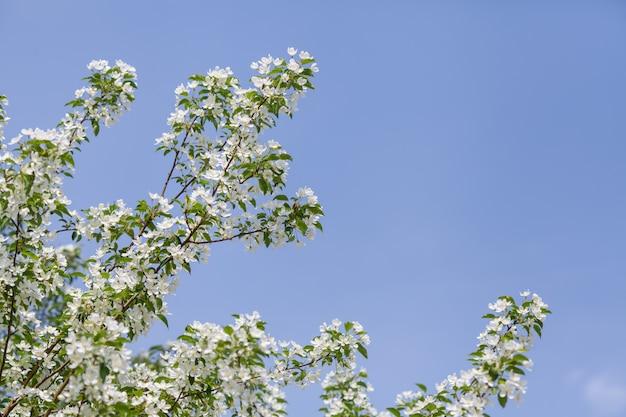 Appelboom bloeit in het begin van de lente