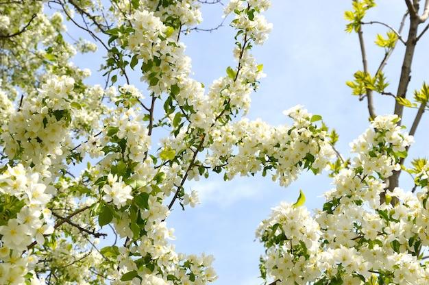 Appelboom bloeit tegen de blauwe lucht op een lentedag