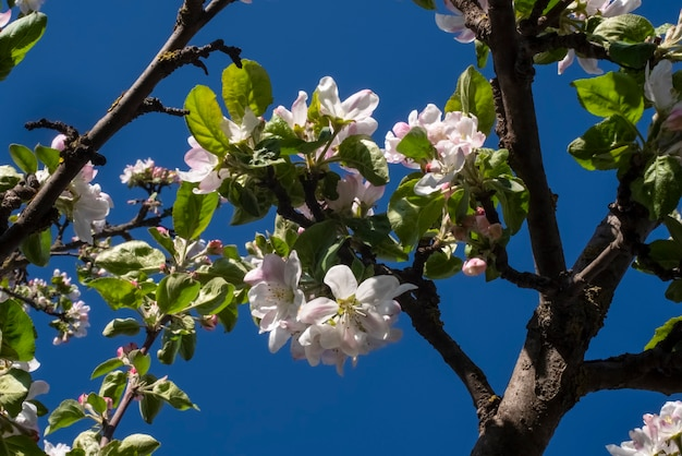 Appelboom bloemen lente versheid natuur