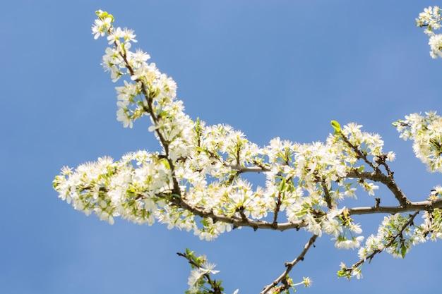 Appelboom in volle bloesem op een blauwe hemel, lente