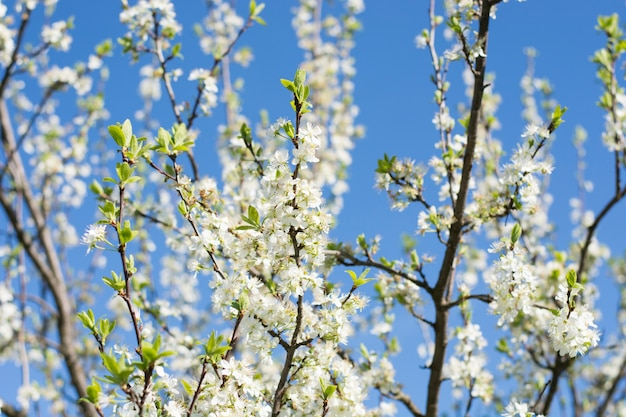 Appelboom in volle bloesem