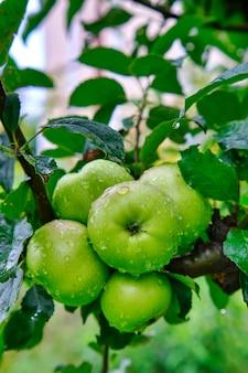 Appelboom met groene appels close-up in zonlicht na regendruppels in de wind. groene appels groeien op een tak.