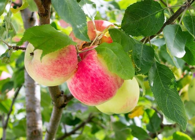 Appelboom met rijp appelfruit. rijpe appels groeien op appelboomtak. appel op boom na regen, close-up.