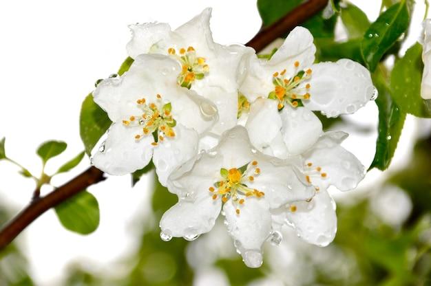 Appelboombloemen met regendruppels op een lentedag
