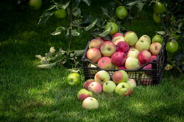 Appelen in een plastic doos op een groen gras