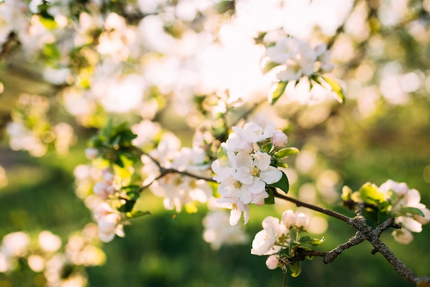 Appelknoppen bloeien in de lentetuin