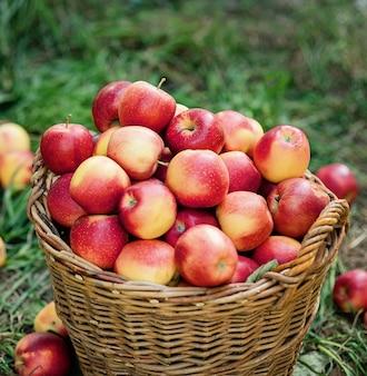 Appeloogst. rijpe rode appels in de mand op het groene gras.
