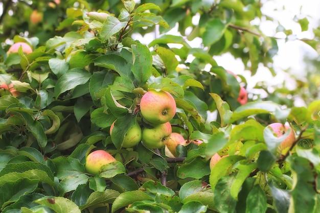 Appels aan de boom in de tuin van een klein zomerdorpje met scherptediepte