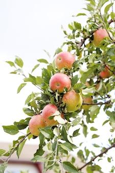 Appels aan een boom