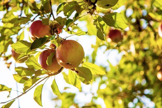 Appels groeien op een boom in de tuin. selectieve aandacht.