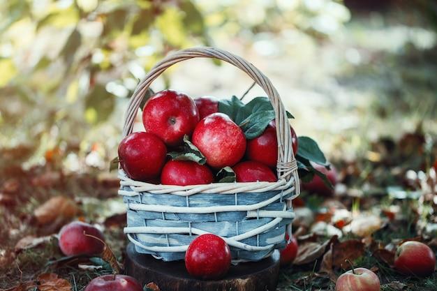 Appels in een mandje. appeloogst.