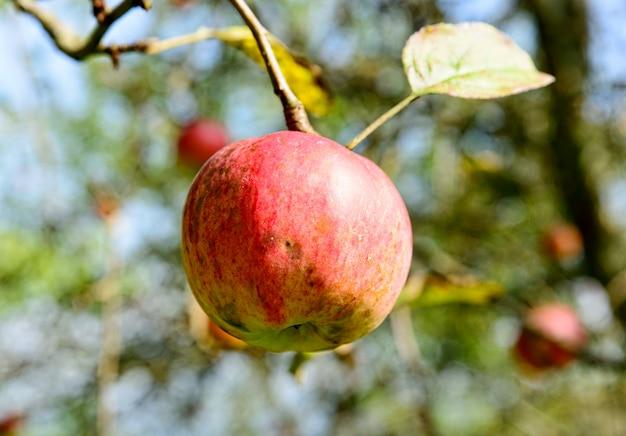 Appels op een tak