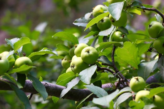 Appelsvruchten groene vruchten rijpen aan de boom tussen de bladeren.