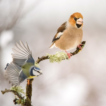 Appelvink coccothraustes coccothraustes zittend op een tak
