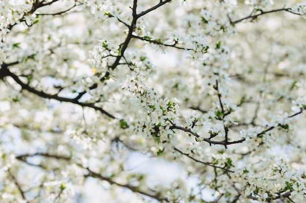 Apple-bloesem of kersenbloesem op een zonnige de lentedag