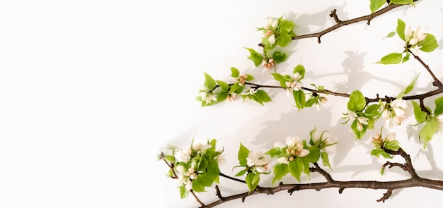 Apple boom bloesem tak plat lag. wit bloeiende toppen, bovenaanzicht