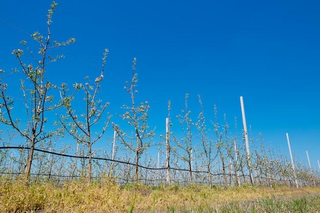Apple-boomgaardtuin in de lente met rijen van bomen met bloesem.