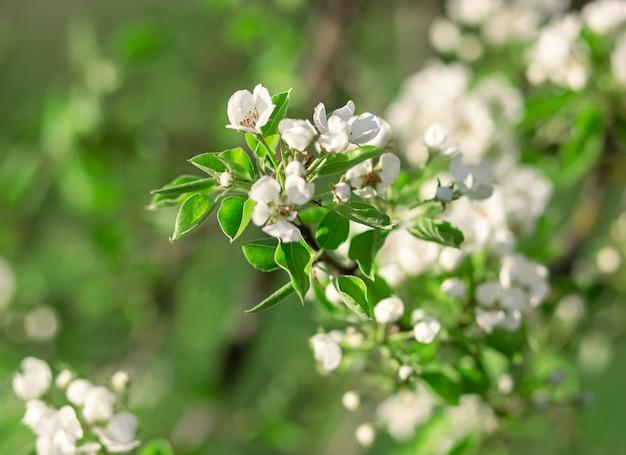 Apple-boomtak met bloemen