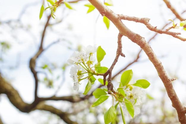 Apple-tuin met tot bloei komende bomen