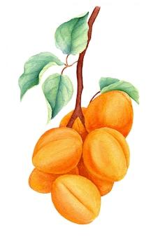 Aquarel abrikoos tak geïsoleerd