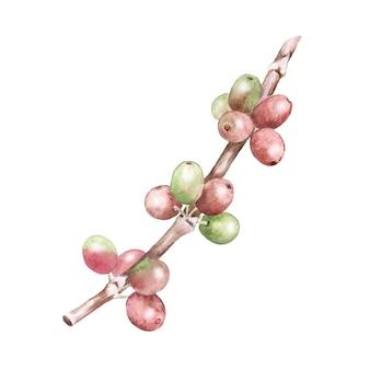 Aquarel botanische illustratie van koffieplant