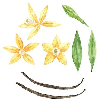 Aquarel collectie van vanille