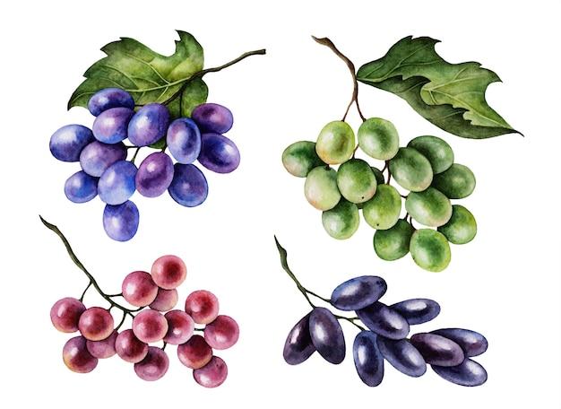 Aquarel druiven trossen set, handgeschilderde botanische illustratie geïsoleerd op een witte